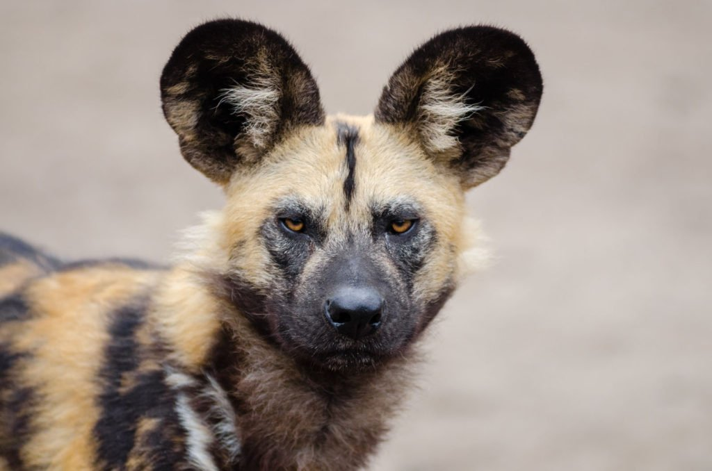 Visit the Wild Dogs at the Painted Dog Conservation in Zimbabwe