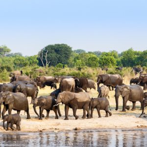 A herd of African elephants drinking at a muddy waterhole Hwange national Park Zimbabwe. True wildlife photography