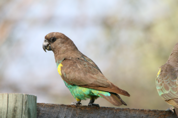 Mobsters, Exhibitionists, Arsonists & Kleptomaniacs - The Birds of Hwange 5