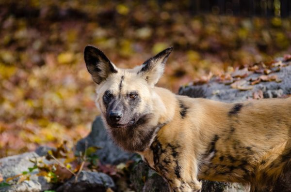 10 Fascinating Facts about Wild Dogs 2