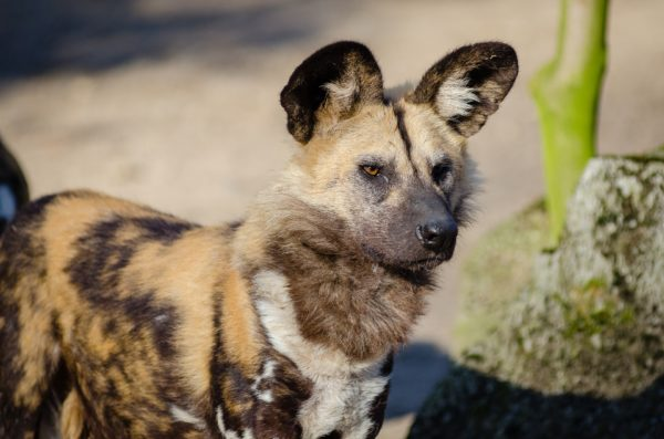 10 Fascinating Facts about Wild Dogs 5