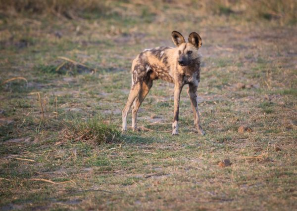 10 Fascinating Facts about Wild Dogs 4