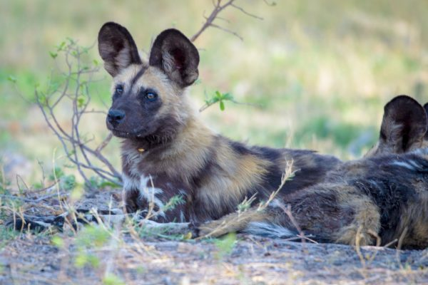 10 Fascinating Facts about Wild Dogs 3