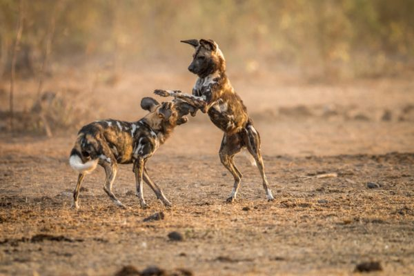 10 Fascinating Facts about Wild Dogs 1
