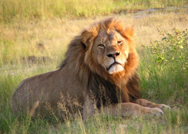Africa's Most Regal Beast 1