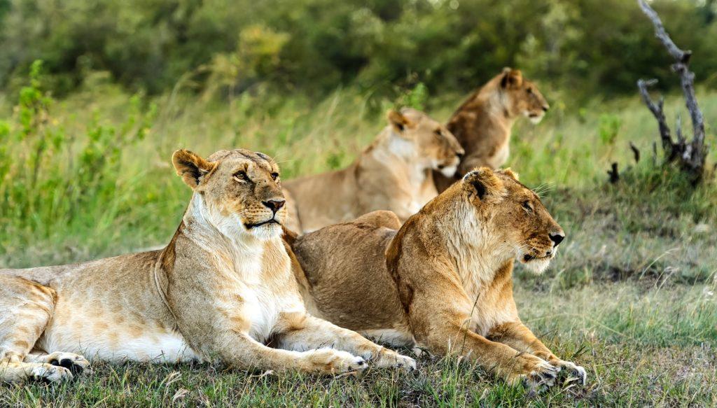 Africa's Most Regal Beast