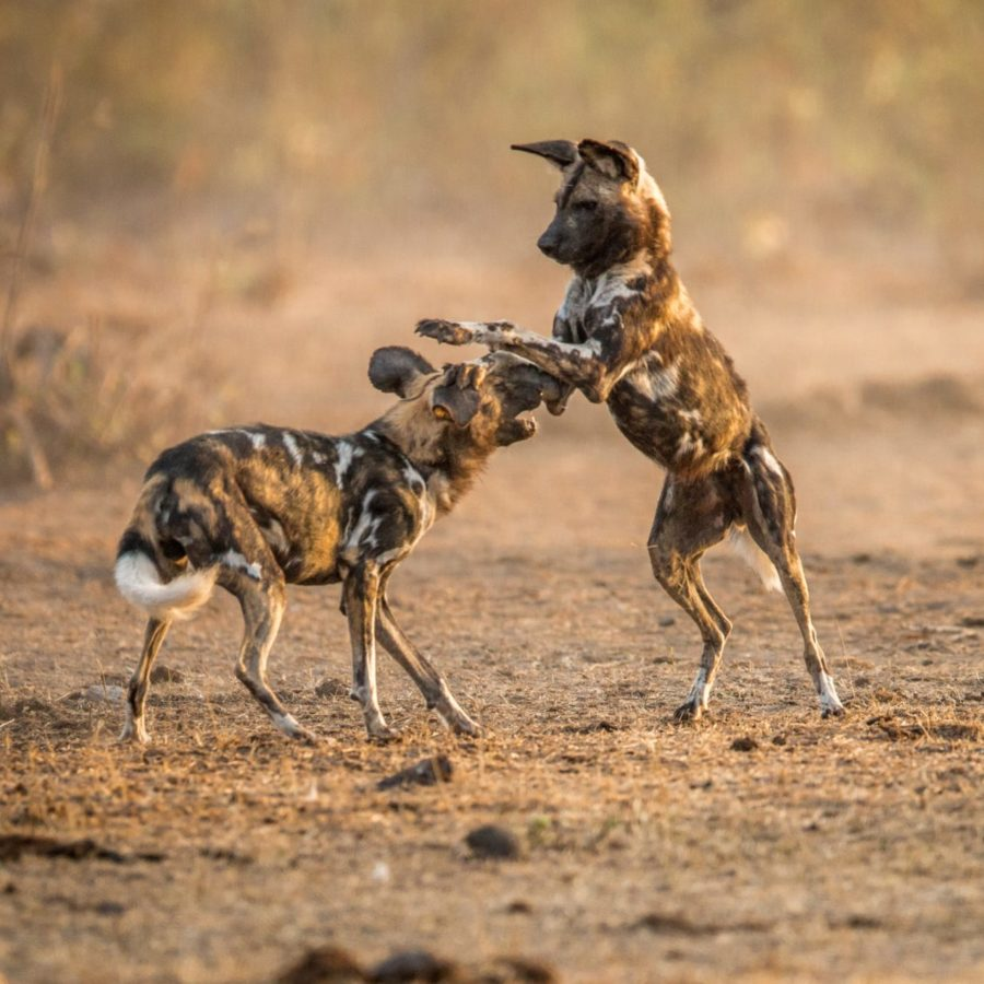Playing African Wild Dogs | Best of Hwange
