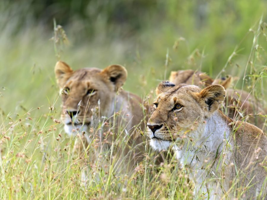 Lions Masai Mara | Victoria Falls & Northern Hwange