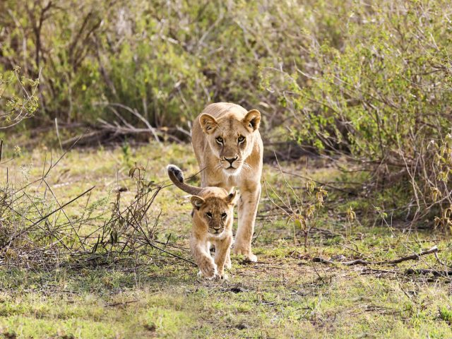 A lioness and a cub | Hwange National Park