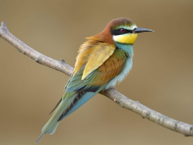 European bee-eater | Rhino Track & Trail