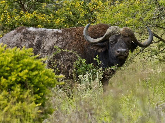Large Male Buffalo | Rhino Track & Trail