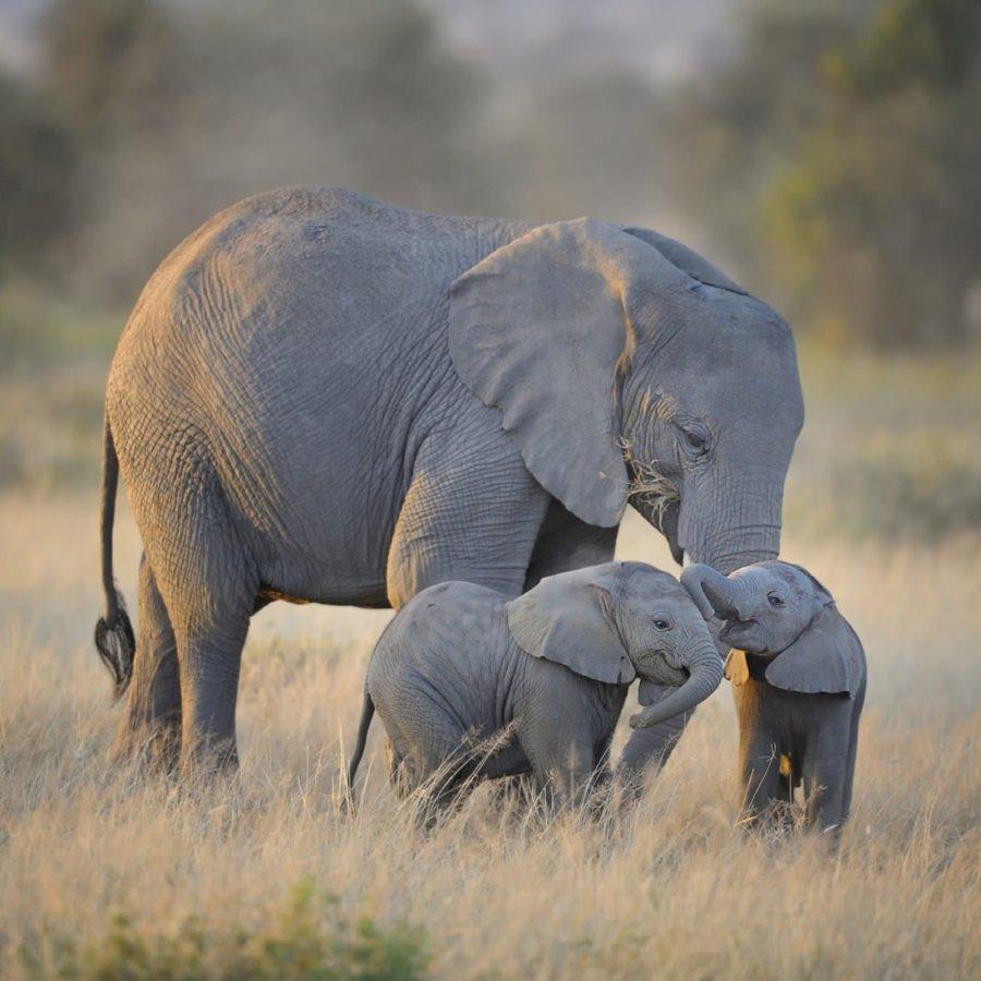 Elephants Moremi