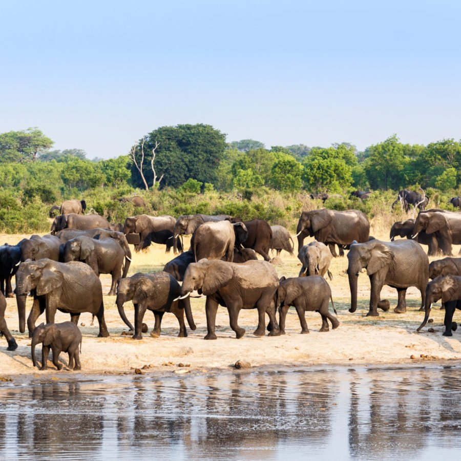 A Herd Of African Elephants | Hwange