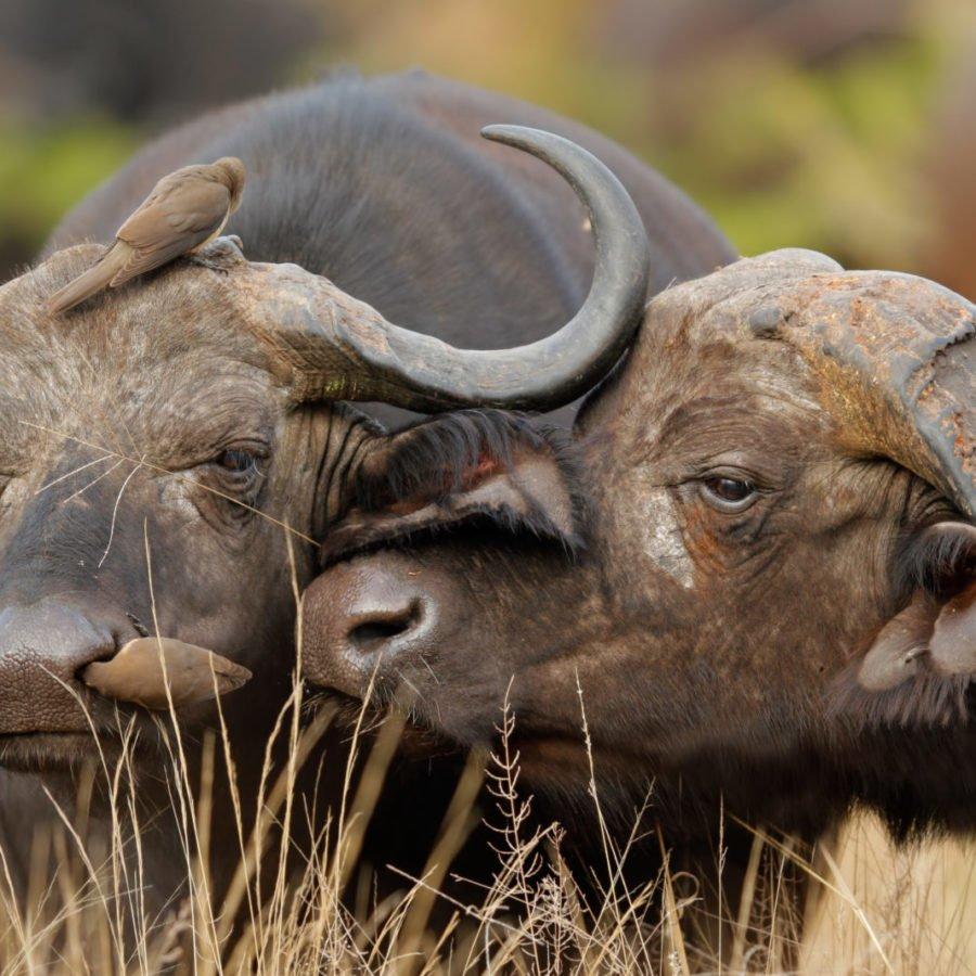 African Buffalos | Hwange