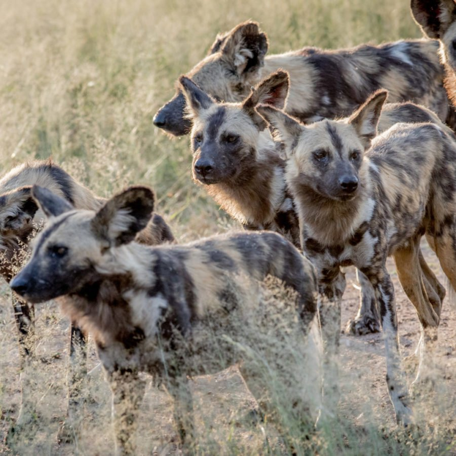 Pack Of African Wild Dogs | Hwange