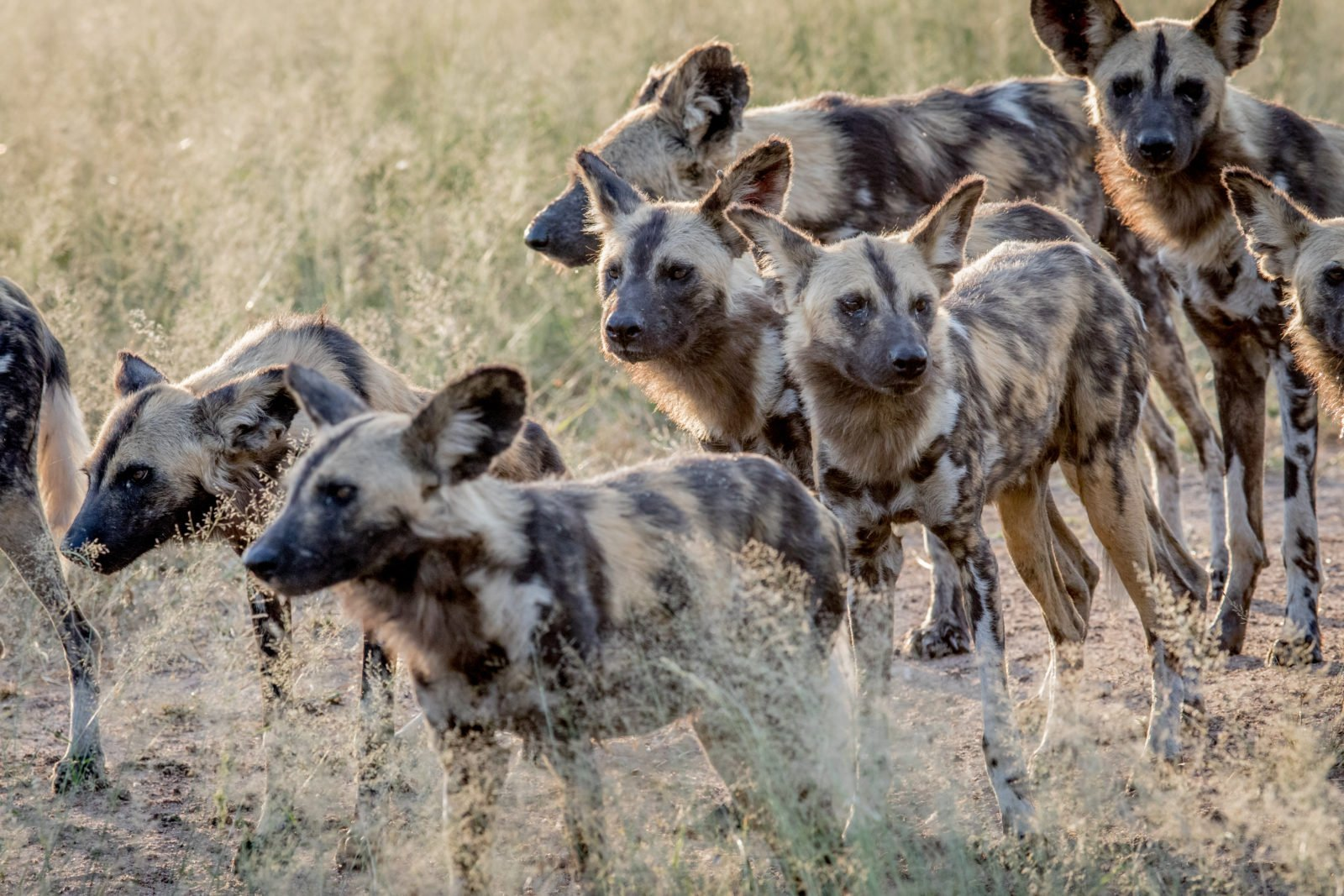 Image result for images of a pack of wild dogs