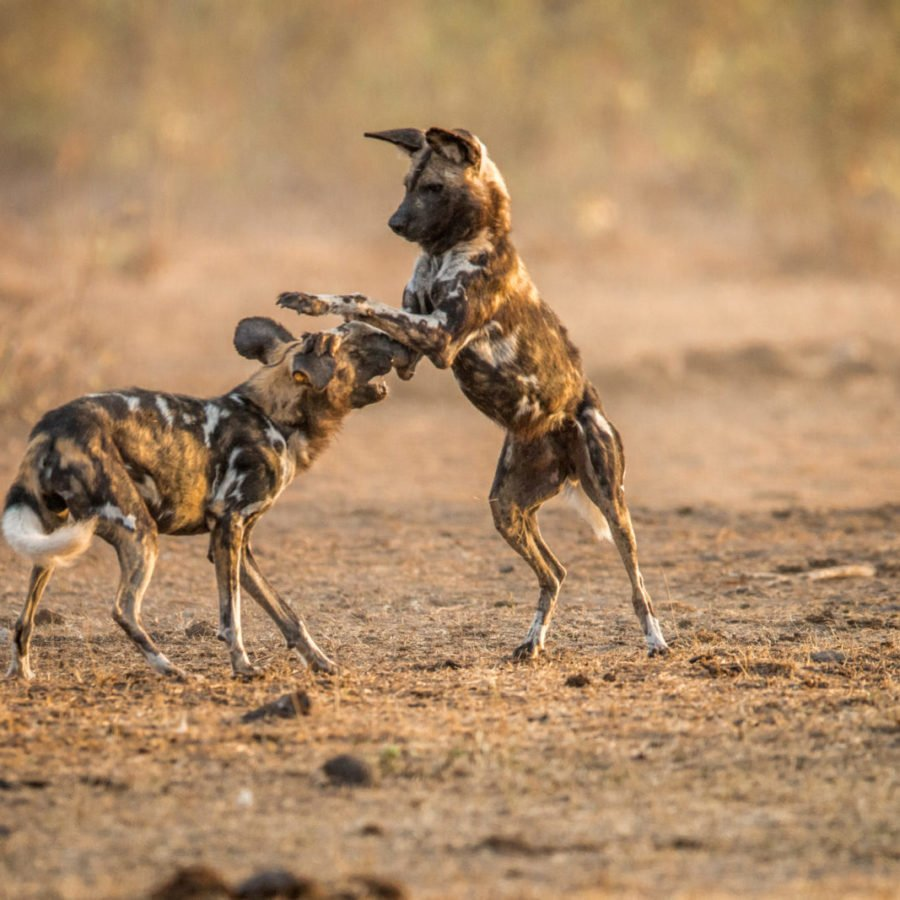 African Wild Dogs Hwange
