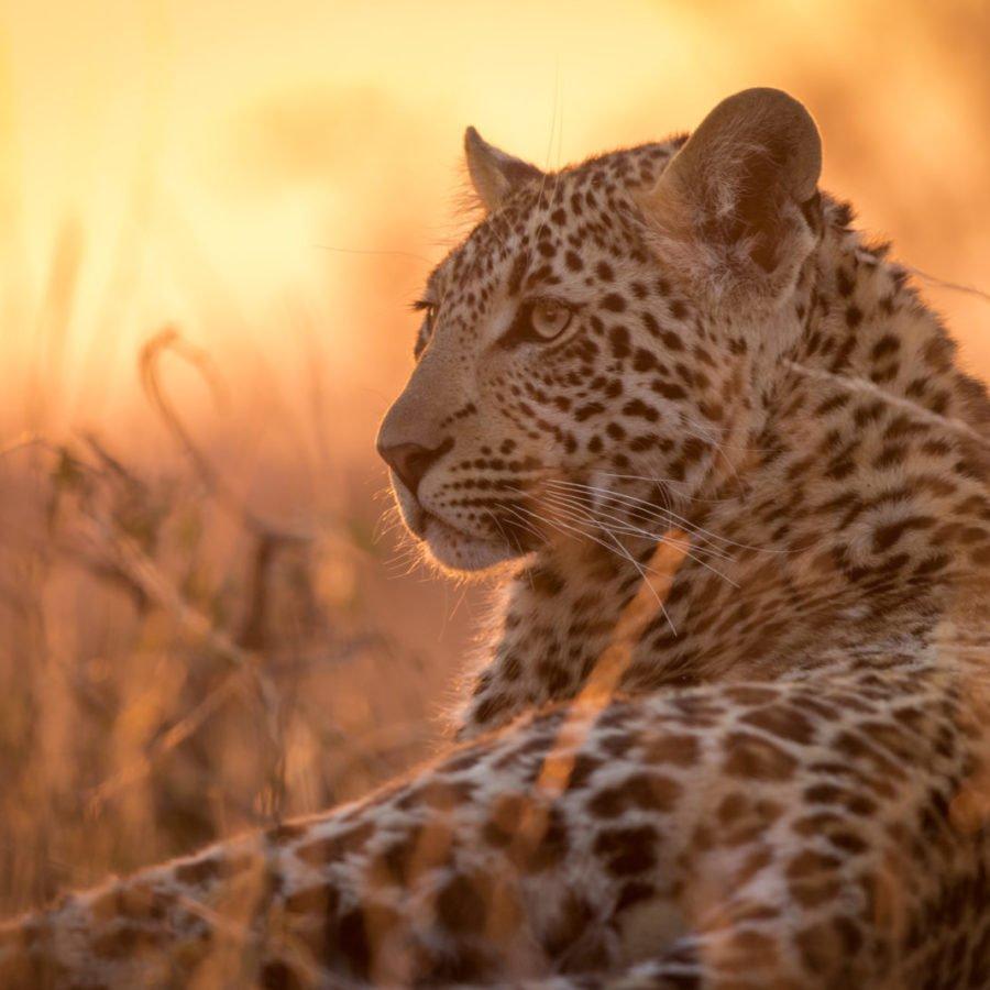Leopard Sunset Moremi