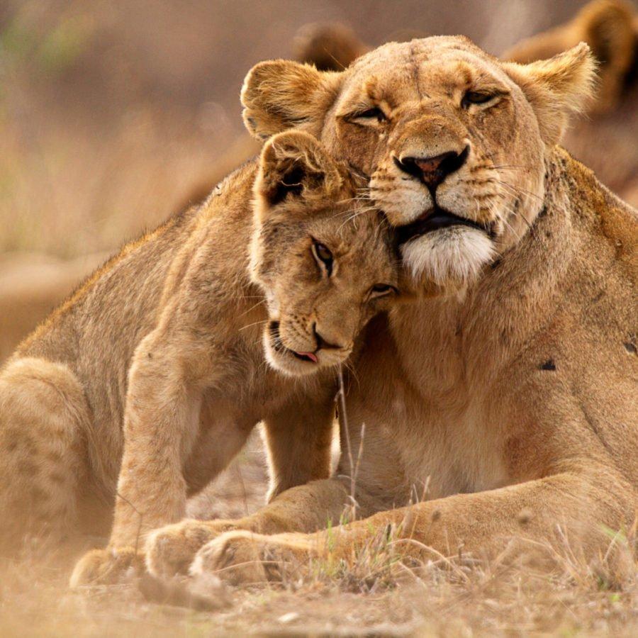Lions Hwange