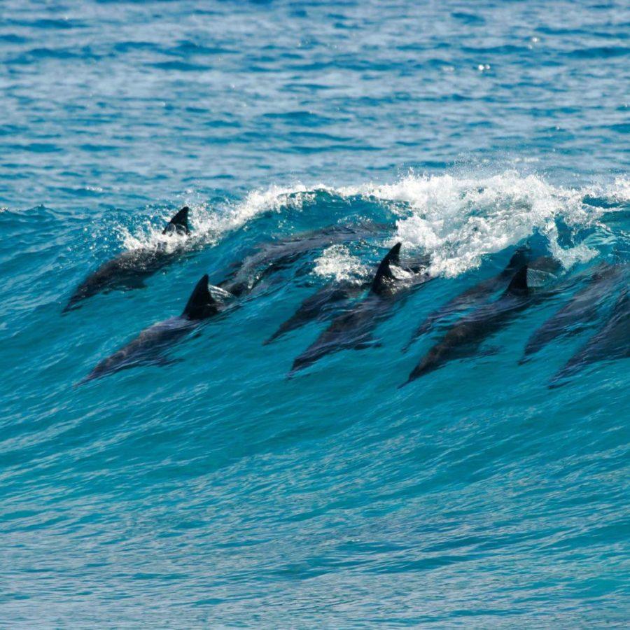 Dolphins, Vilanculos, Mozambique