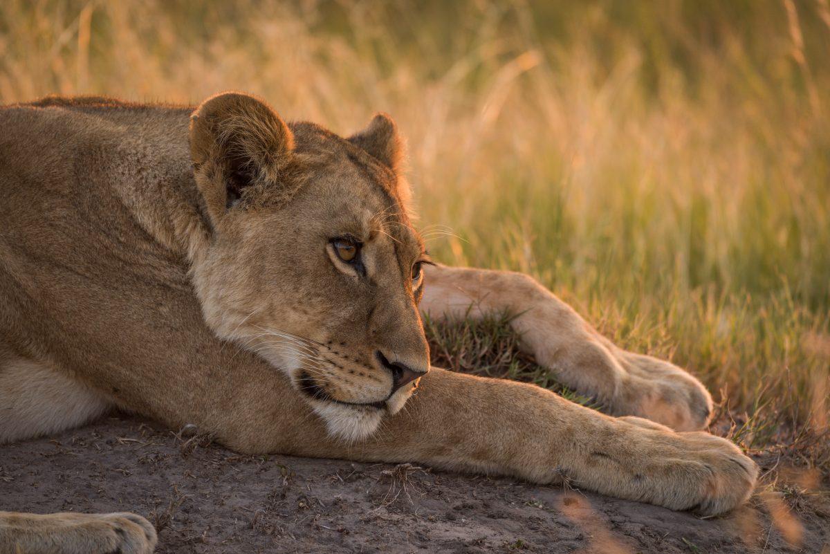 Lion | Hwange National Park, Zimbabwe
