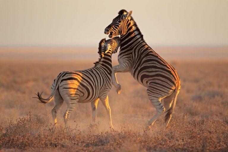 Zebra | Zimbabwe