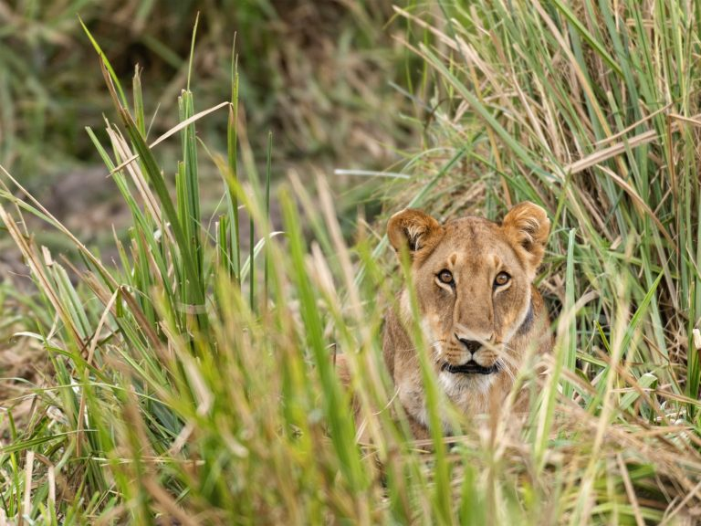 Discover the Secrets of Hwange | Lion