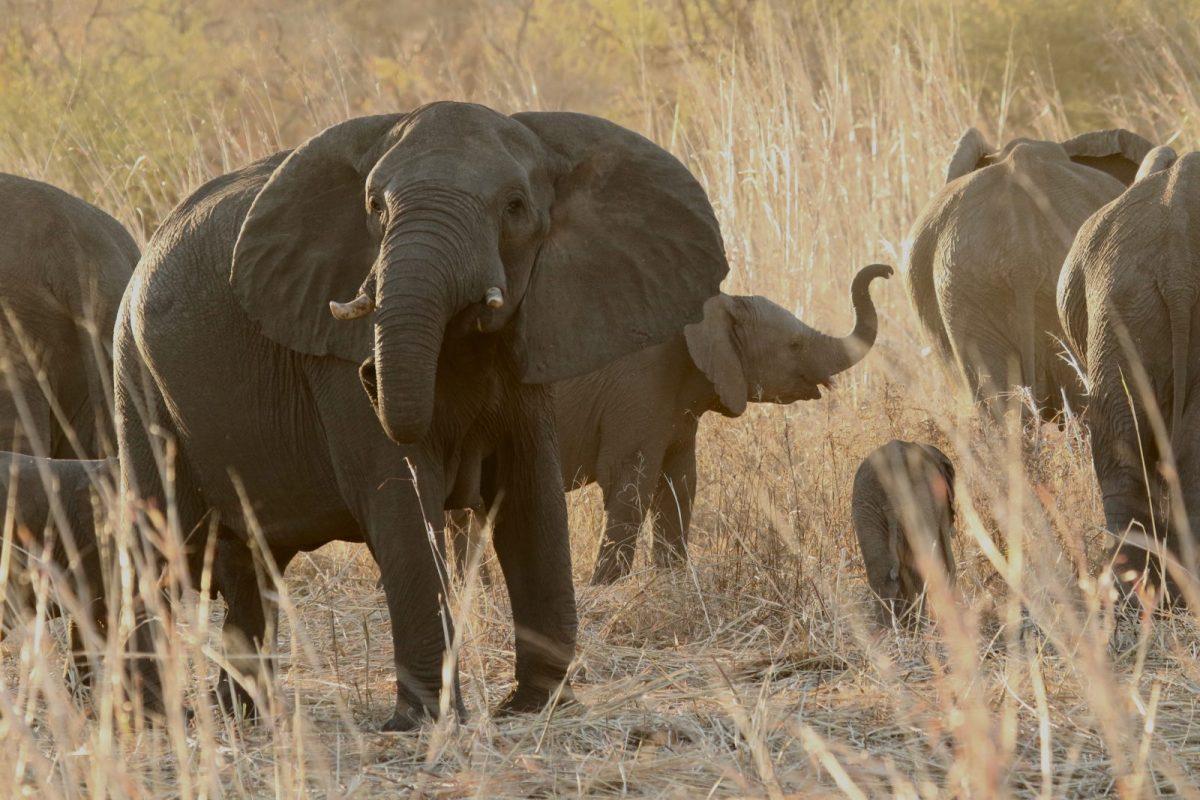 Elephant Herds - Nantwich, Hwange National Park