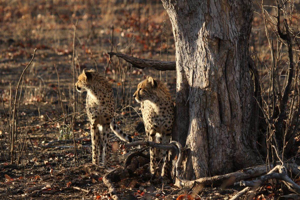 Cheetah - Nantwich, Hwange National Park