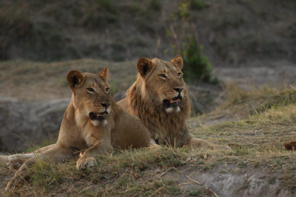 Lion Pride, Nantwich, Hwange