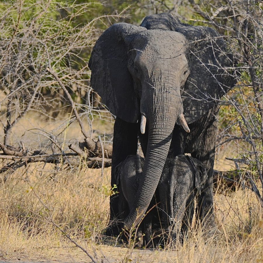 Kazuma Region - Elephants
