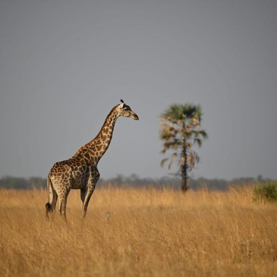 Kazuma Region - Giraffe