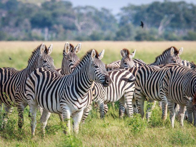 Chobe Hwange Hideaway - Zebra