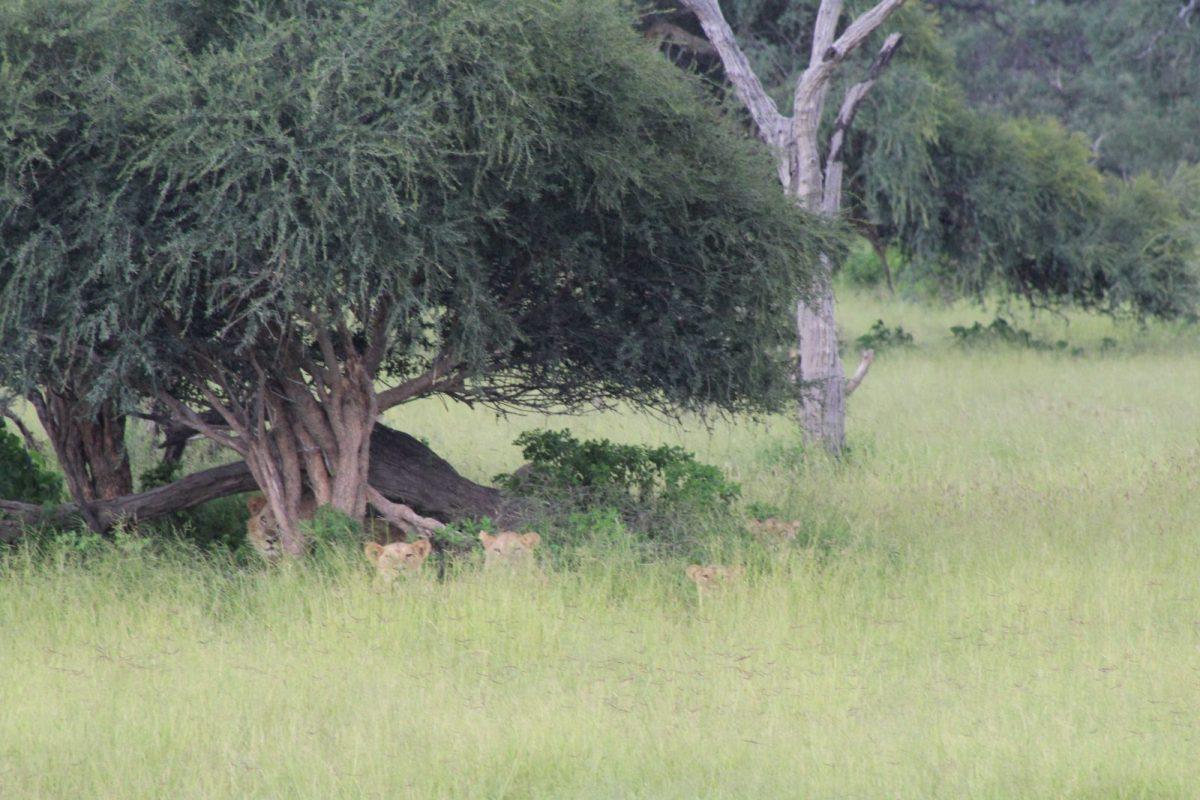 A Time-Lion from Mogothlo Safari Lodge, Botswana 7