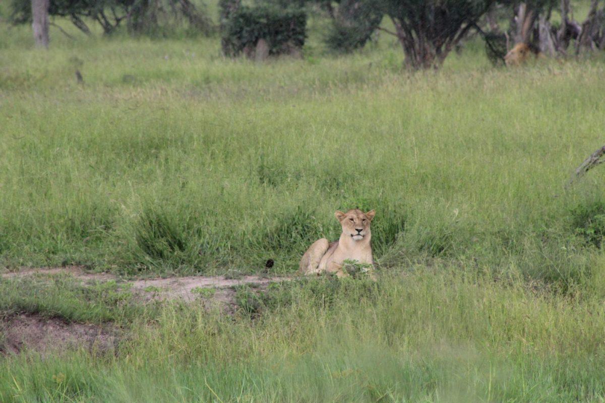 A Time-Lion from Mogothlo Safari Lodge, Botswana 9