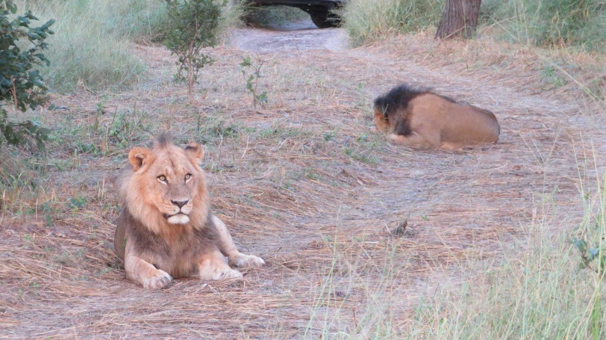 A Time-Lion from Mogothlo Safari Lodge, Botswana 8
