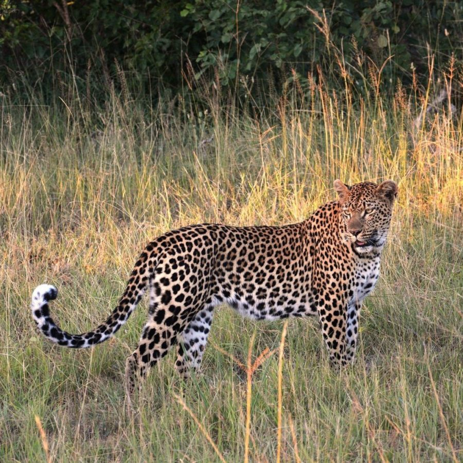 leopard-657540_1920