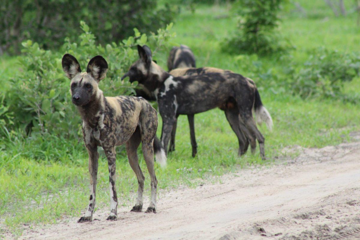 Mogotlho, Khwai River: It's a Wild Dog's Life 11