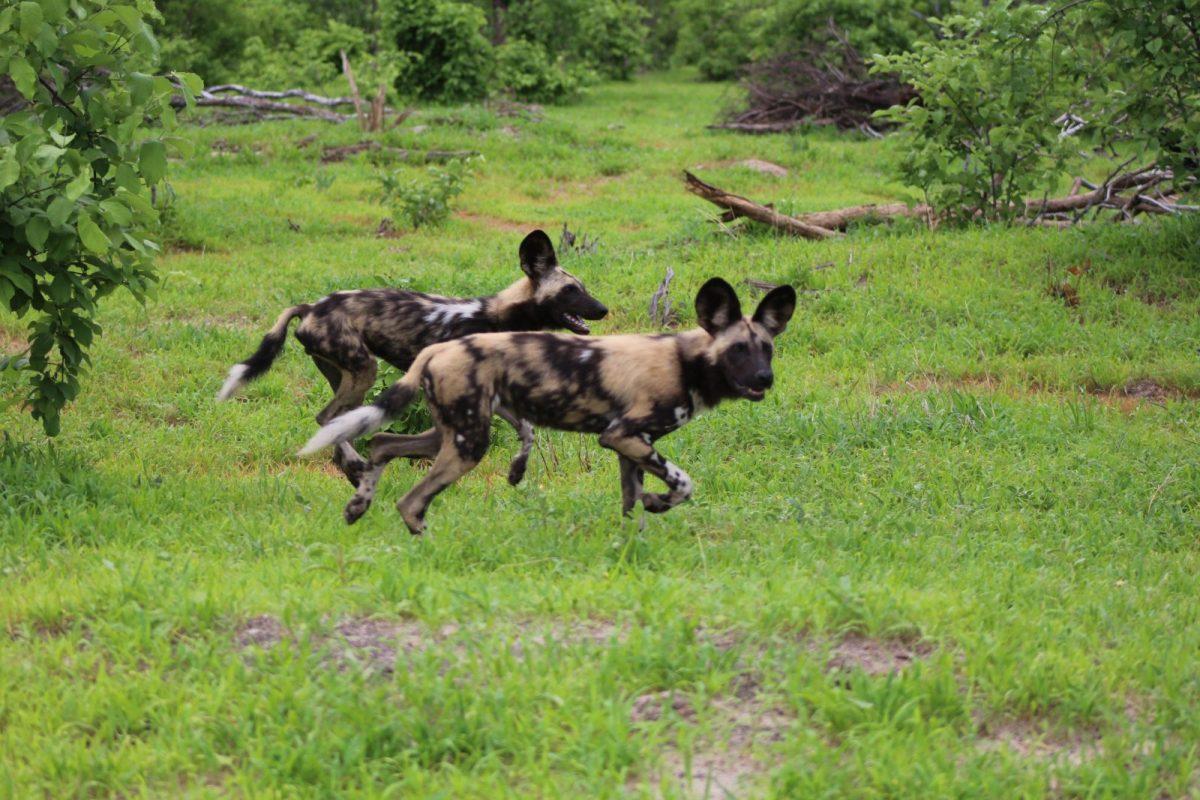Mogotlho, Khwai River: It's a Wild Dog's Life 9